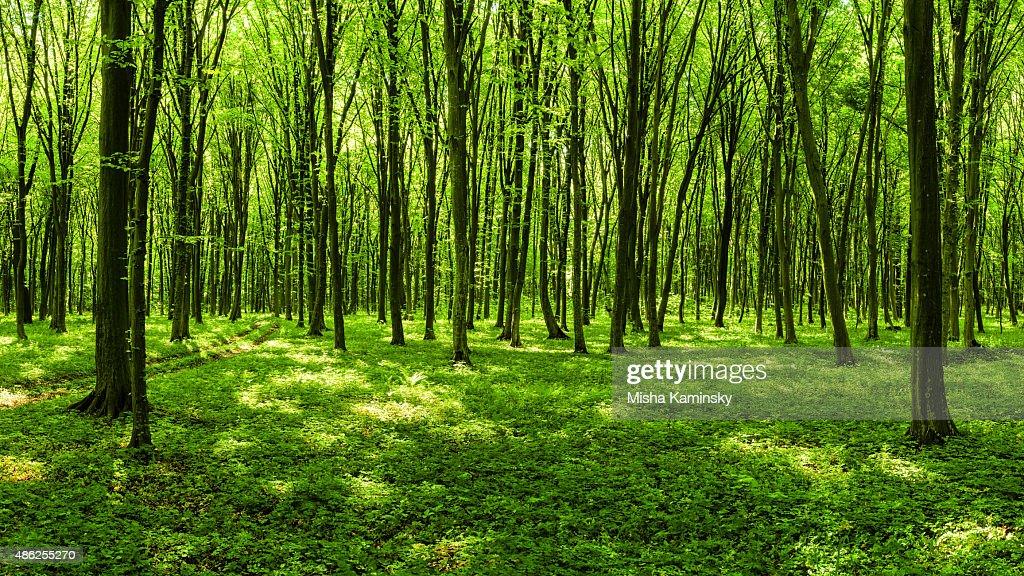 春の森林のパノラマ : ストックフォト