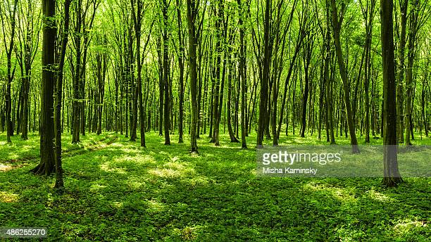 panorama of spring forest - maple tree stock pictures, royalty-free photos & images