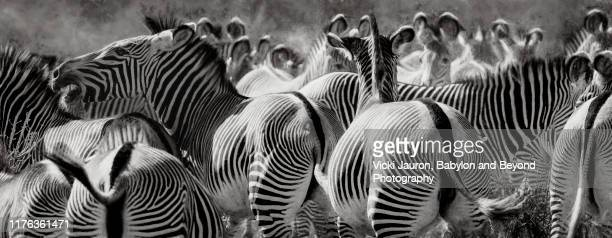 panorama of stripes, ears and patterns of grevy zebras in black and white in samburu, kenya - white stripes stock pictures, royalty-free photos & images