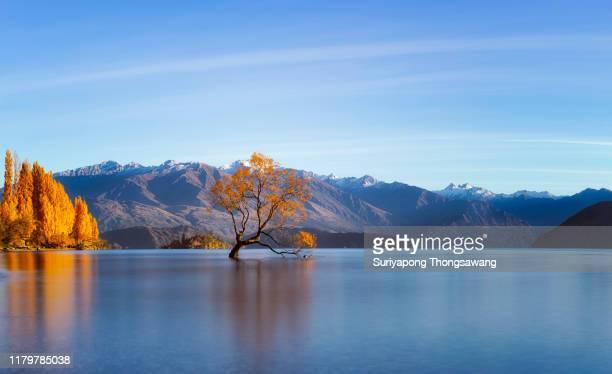 panorama of that wanaka tree in autumn in wanaka city, new zealand. - wanaka - fotografias e filmes do acervo