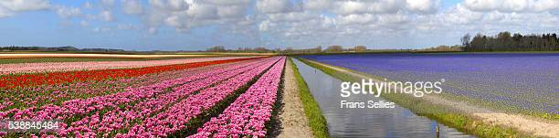 panorama of the tulip fields, north holland, netherlands - muscari armeniacum stock pictures, royalty-free photos & images