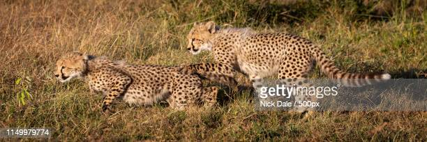 Panorama Of Two Cheetah Cubs In Grass