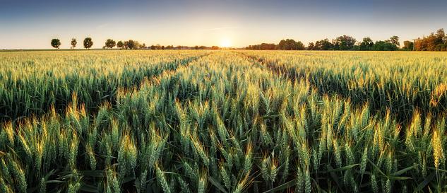Panorama of wheat field at sunset 909076596