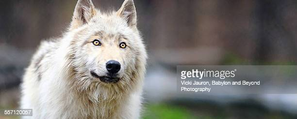 Panorama Portrait of a Gray Wolf