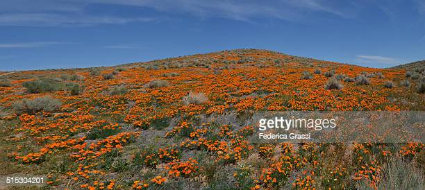 Panorama View of Antelope Valley Poppy Reserve