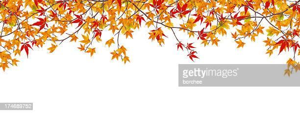 Panoramic Autumn Maple Branches