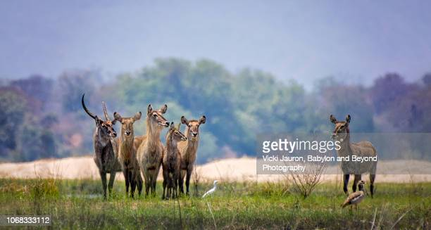 panoramic colorful scene of waterbuck along zambezi river in zimbabwe - national park stock pictures, royalty-free photos & images