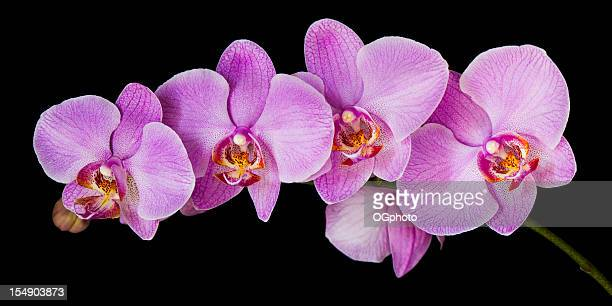 XXXL: Panoramic image of a moth orchid