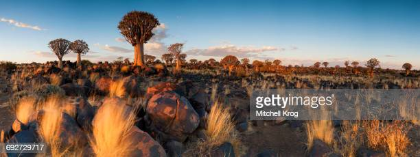 Panoramic Landscape Photo of the Last Golden Light over the Quiver Tree Forest, Keetmanshoop, Namibia