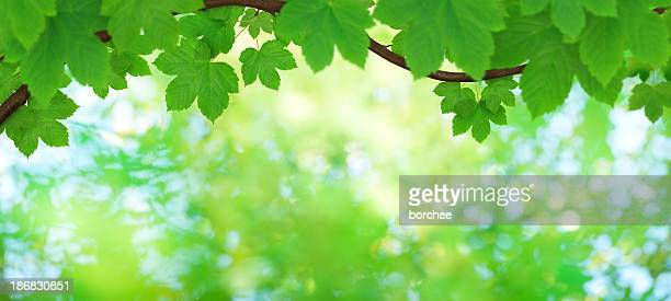 Panoramic Maple Foliage