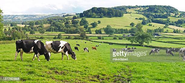 panoramic of dairy cows - dairy cattle stock pictures, royalty-free photos & images