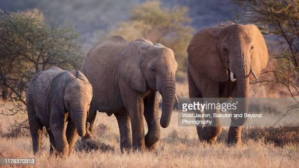 panoramic of elephant family in beautiful early morning light at samburu, kenya - mammal stock pictures, royalty-free photos & images