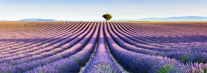 Panoramic of lavender field and tree, Provence, France - gettyimageskorea