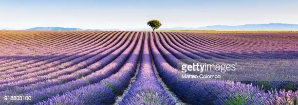 panoramic of lavender field and tree, provence, france - grand horizons stock pictures, royalty-free photos & images