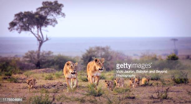 panoramic of lionesses with cubs walk together at sunset at masai mara, kenya - lion stock pictures, royalty-free photos & images