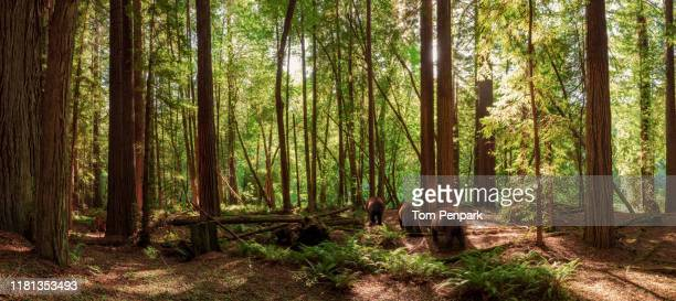 a panoramic of redwood state park and three bears walking. - bear tracks stock pictures, royalty-free photos & images