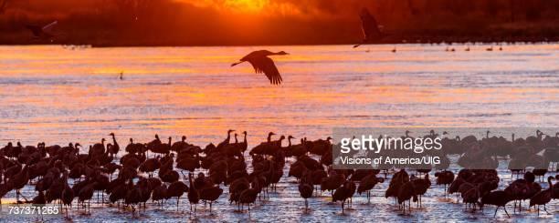 panoramic of sandhill cranes taking flight at sunrise, platte river, near grand island, nebraska - カナダヅル ストックフォトと画像