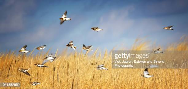 panoramic of snow bunting flying against grass and sky - wader bird stock photos and pictures