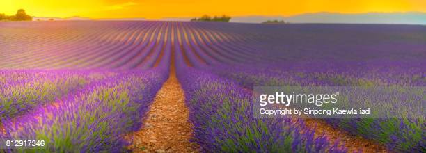 Panoramic of the beautiful lavender field during sunset in the Plateau de Valensole, Alpes-de-Haute-Provence, France.