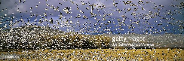 A panoramic of thousands of migrating snow geese taking flight over the Bosque del Apache National Wildlife Refuge near San Antonio and Socorro New...