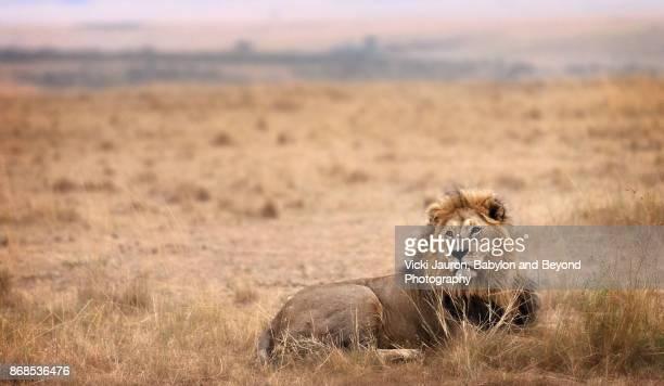 Panoramic Portrait of a Male Lion at Sunrise in Masai Mara, Kenya