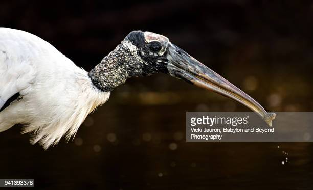 Panoramic Profile of a Wood Stork with Small Fish