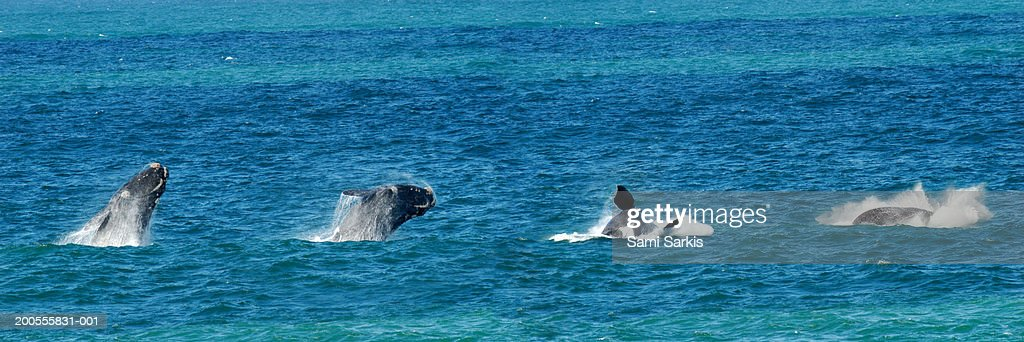 Panoramic sequence of a breaching Southern right whale : Stock Photo