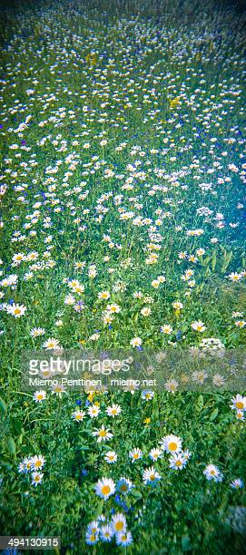 Panoramic shot of a meadow with daisies