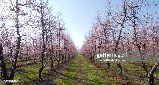 panoramic shot of cherry trees on landscape against clear sky - saluzzo stock photos and pictures