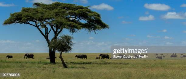 panoramic shot of elephants on field against sky - african elephant stock pictures, royalty-free photos & images