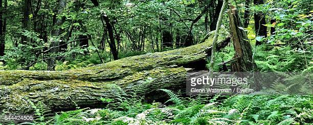 Panoramic Shot Of Fallen Tree In Forest