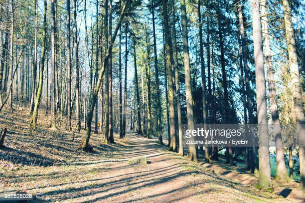 panoramic shot of pine trees in forest - zuzana janekova stock pictures, royalty-free photos & images