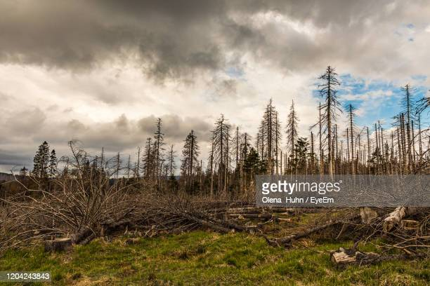 panoramic shot of trees on field against sky - spruce tree stock pictures, royalty-free photos & images