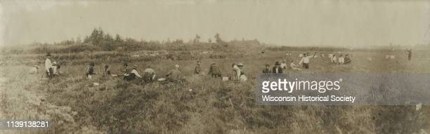 Panoramic slightly elevated view of Winnebago Indians harvesting cranberries by hand at Gebhart's Marsh Black River Falls Wisconsin 1913