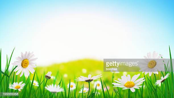 panoramic spring meadow - marguerite daisy stock photos and pictures
