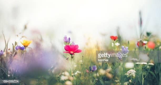 panoramique sur summer meadow - fleurs des champs photos et images de collection