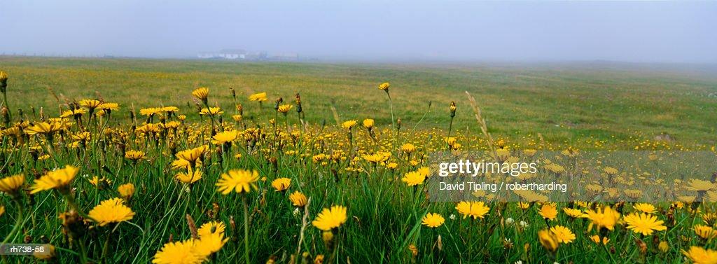 Panoramic View Corn Marigolds Fair Isle Shetland Islands Scotland ...