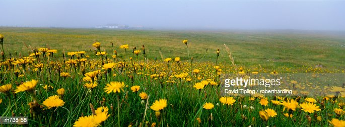 Panoramic View Corn Marigolds Fair Isle Shetland Islands Scotland ...