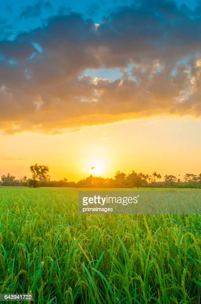 Panoramic view Landscape of a green field with rice at sunset