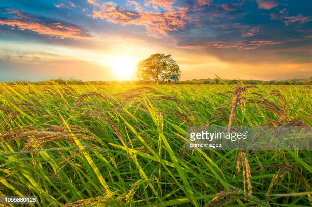 panoramic view nature landscape of a green field with rice - south stock pictures, royalty-free photos & images