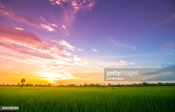 Panoramic view nature Landscape of a green field with rice