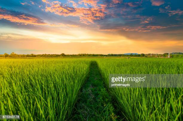 panoramic view nature landscape of a green field with rice - plantation stock pictures, royalty-free photos & images