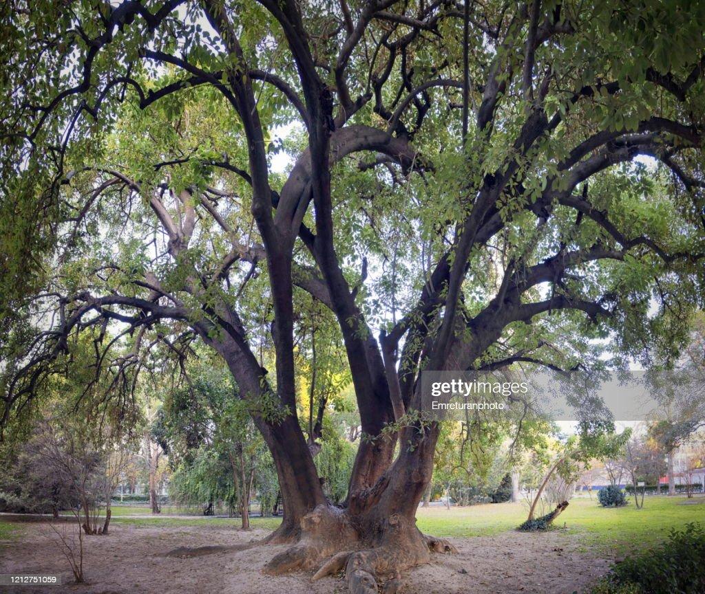 "Panoramic view of a ""bella sombra""tree,Izmir. : Stock Photo"