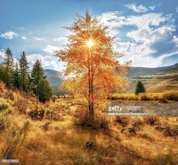 a panoramic view of a grove of aspens at peak fall color located in the heart of the amazing grand teton national park. - grove_(nature) stock pictures, royalty-free photos & images