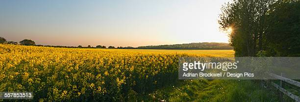 Panoramic view of a mustard field at the end of the day with a footpath along the edge