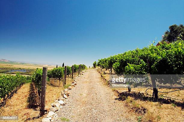 panoramic view of a vineyard, napa valley, california, usa - napa valley stock pictures, royalty-free photos & images