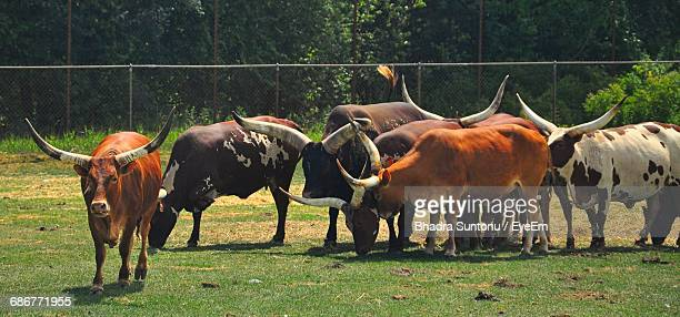 Panoramic View Of Ankole-Watusis Grazing On Field