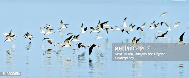 panoramic view of black skimmer (rynchops niger) flock - fort myers beach stock photos and pictures