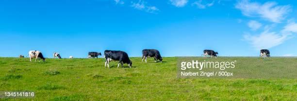 panoramic view of cows grazing on field against sky - norbert zingel stock-fotos und bilder