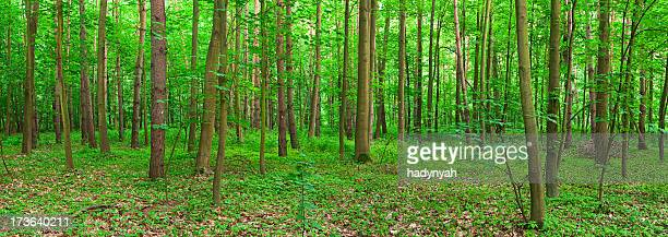 Panoramic view of deep forest 24MPix XXXL size